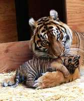 Here the tiger cub is seen when it was just 5 weeks old.