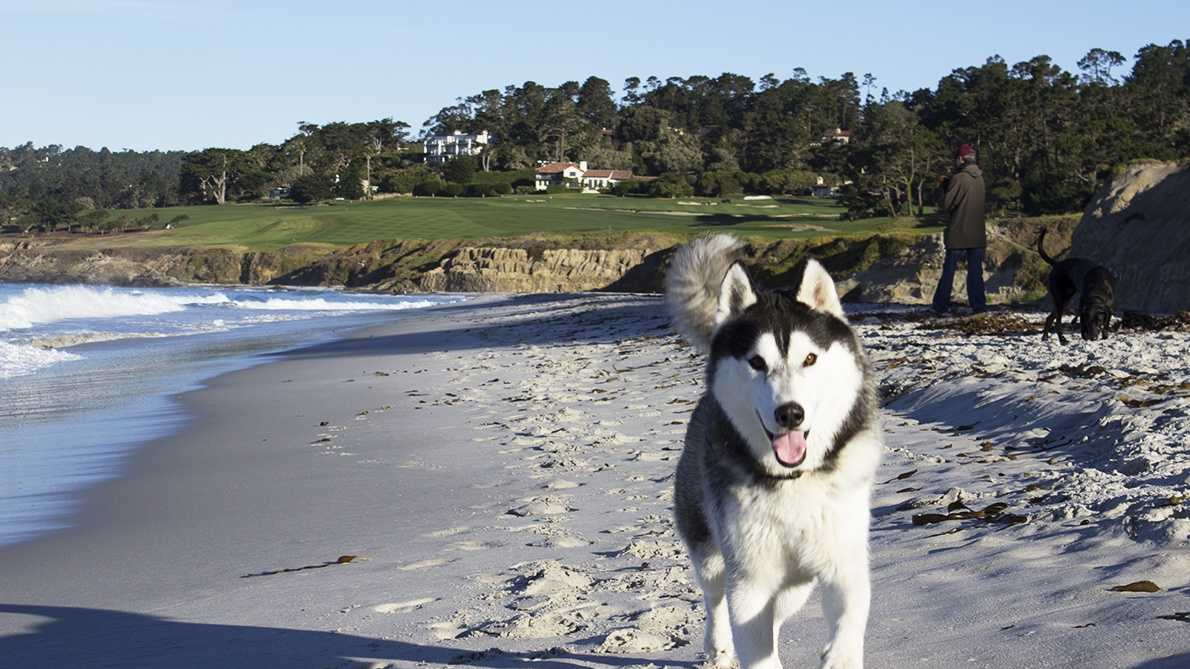 This husky named Maverick loves to run on Carmel Beach.
