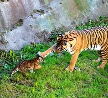 An 8-week-old Sumatran tiger cub that was born at the San Francisco Zoo and already has a large fan base will go on exhibit Friday. At 14 pounds, the cub is now strong enough to venture into the outdoor enclosure where zoo visitors can watch her.