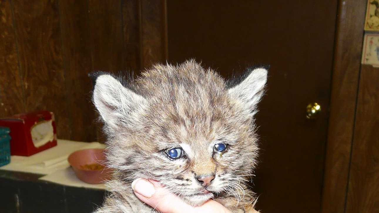 Chips is seen soon after the baby bobcat was rescued.