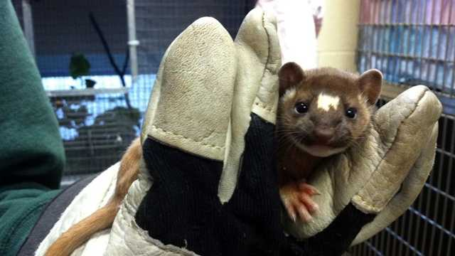 Weasel rescued