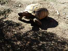 In a last-minute move, McLaughlin was able to get his two 14-foot long red-tailed boa constrictors and all of his tortoises out of the house by Wednesday's deadline. He is now looking for people who can provide loving homes for them.If you are interested in having a pet tortoise, you can email McLaughlin at timturtleman@gmail.com