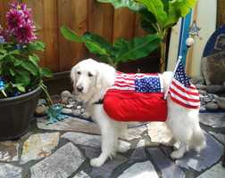 This cute dog named Gunnar dressed up for 4th of July parade at Pleasure Point in Santa Cruz.