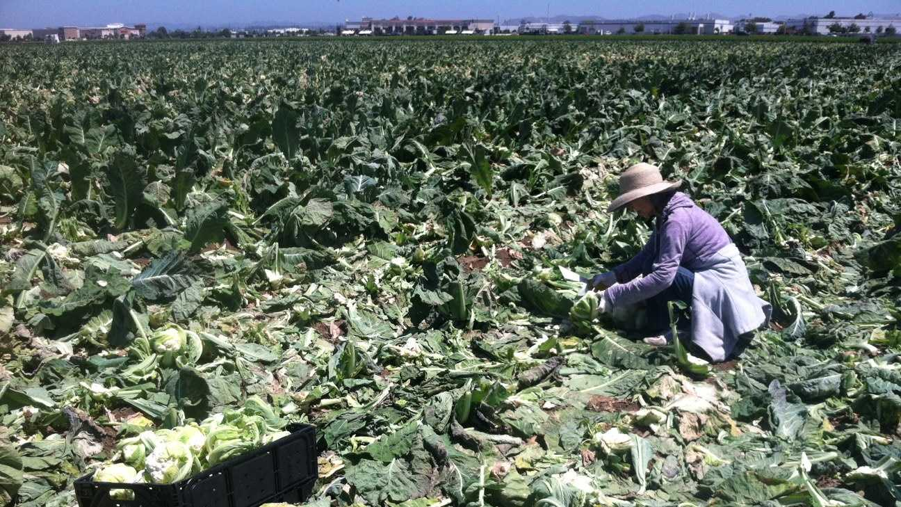 About 50 people sifted through an Ocean Mist Farms cauliflower field Saturday for leftovers.