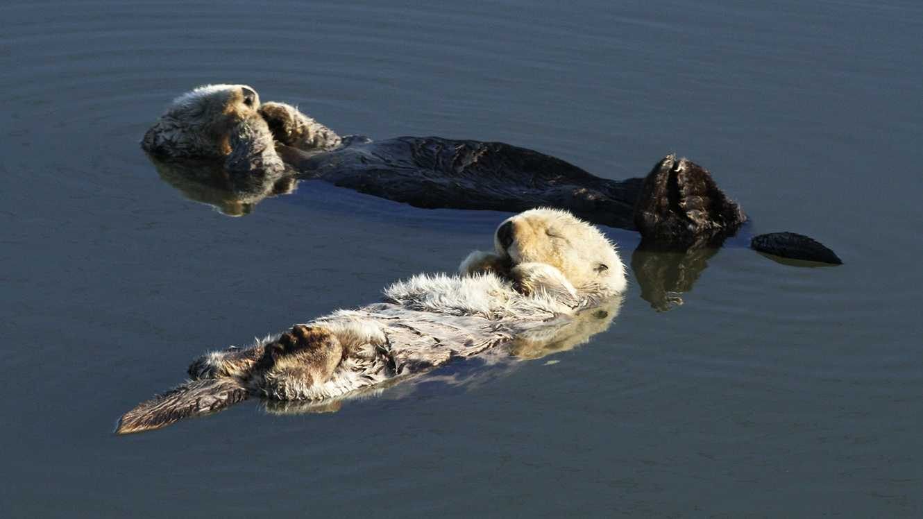 Sea otters often hang out in Moss Landing, like these two.