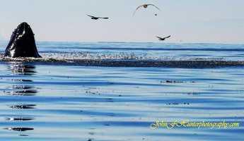 John Hunter shot photographs of humpback whales going wild feeding near the Capitola Wharf. John F. Hunter Photography