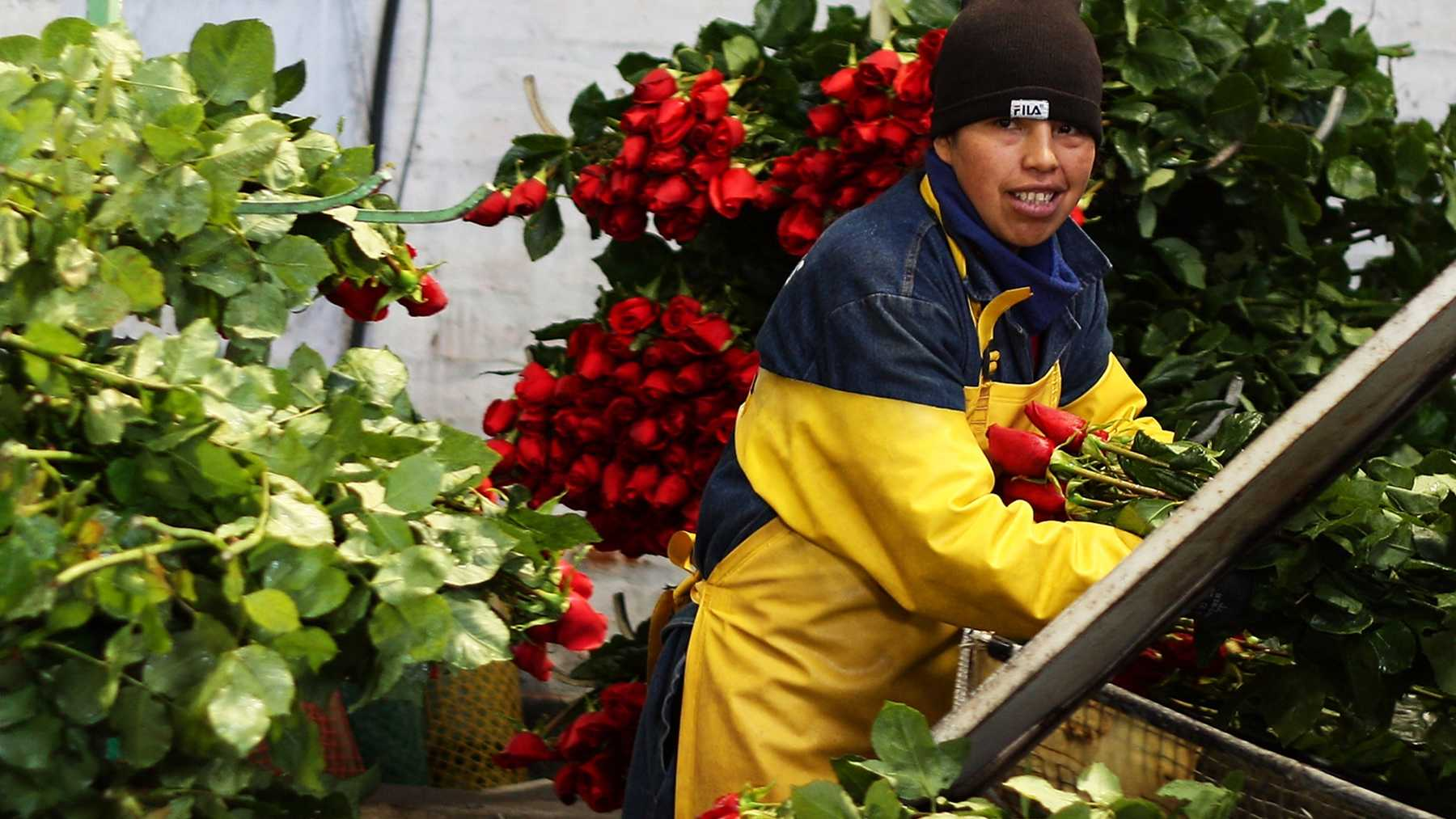 A farm worker trims roses.