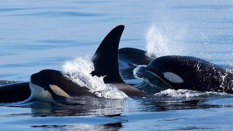 Orca whales swim through the Monterey Bay.