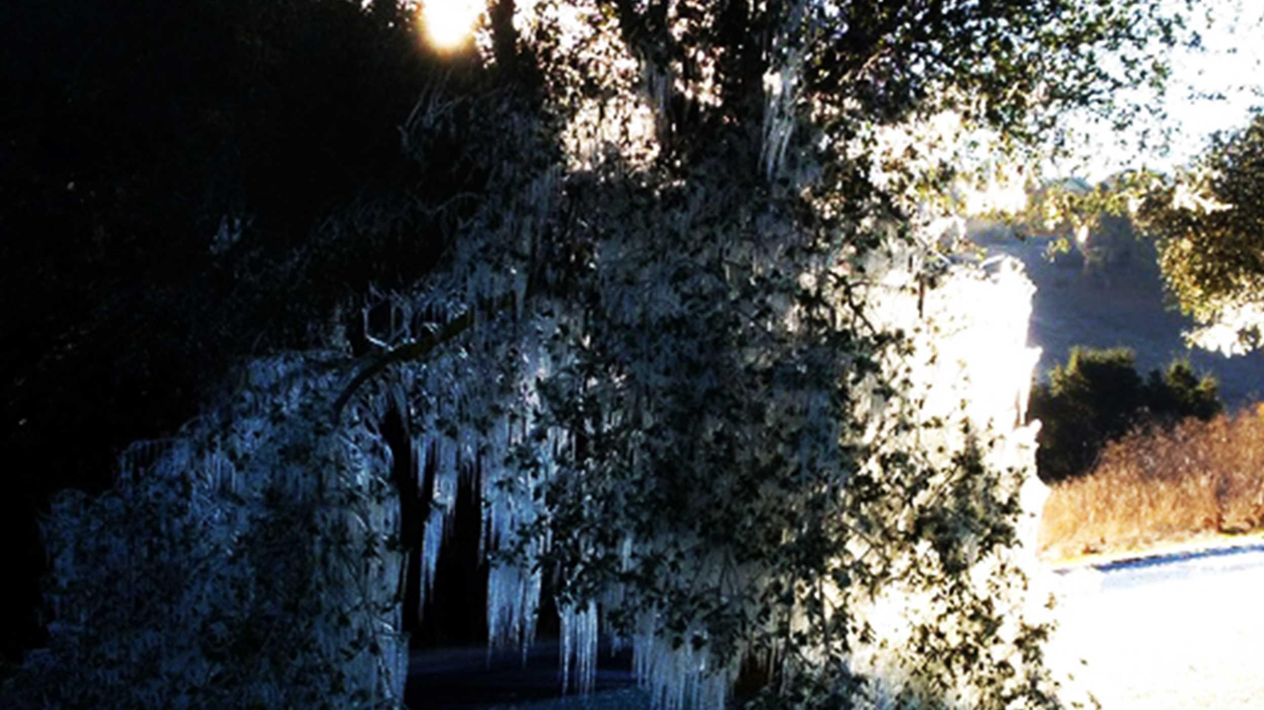 frozen oak tree hollister.jpg (1)