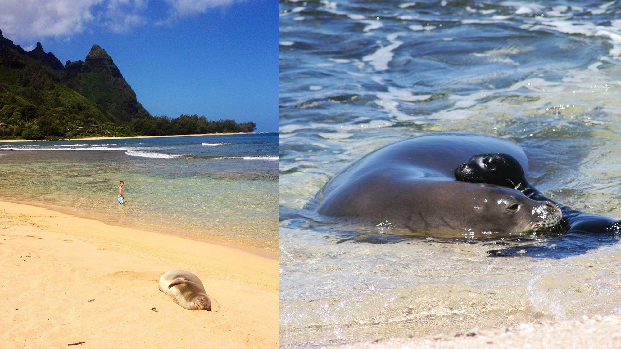 A wild Hawaiian monk seal sleeps on a beach in Kauai.