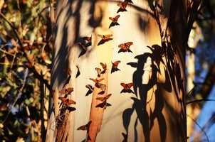 Photographer Debbie Jones shot images of butterflies fluttering around Natural Bridges State Park in Santa Cruz in January 2014.