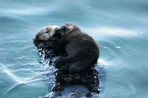 The Monterey Bay Aquarium's outdoor Great Tide Pool is full of marine life, but it get a little fuller on Jan. 22 when a wild sea otter decided to show off her precious pup to aquarium visitors.