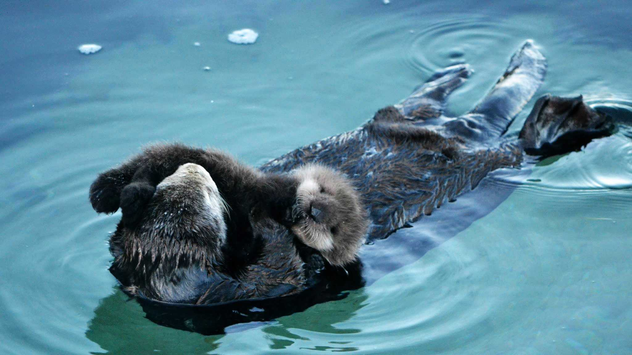 A sea otter mother floats with her new pup just outside the Monterey Bay Aquarium.