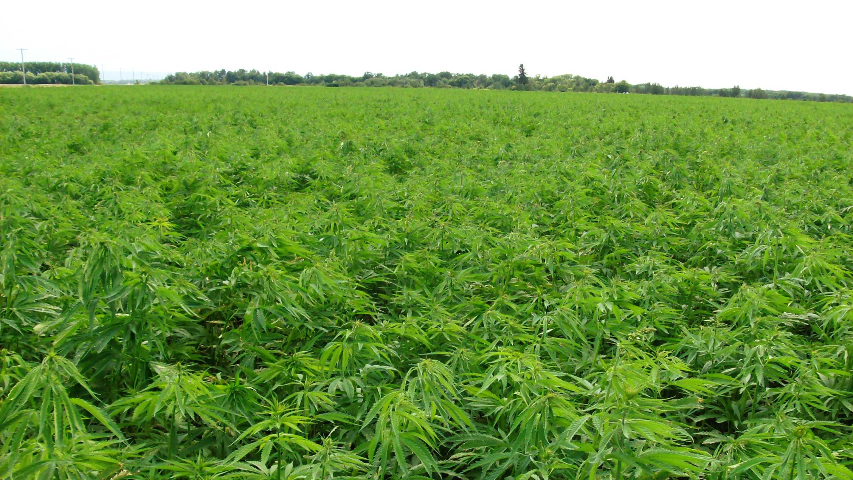 A hemp field in Kentucky is seen.