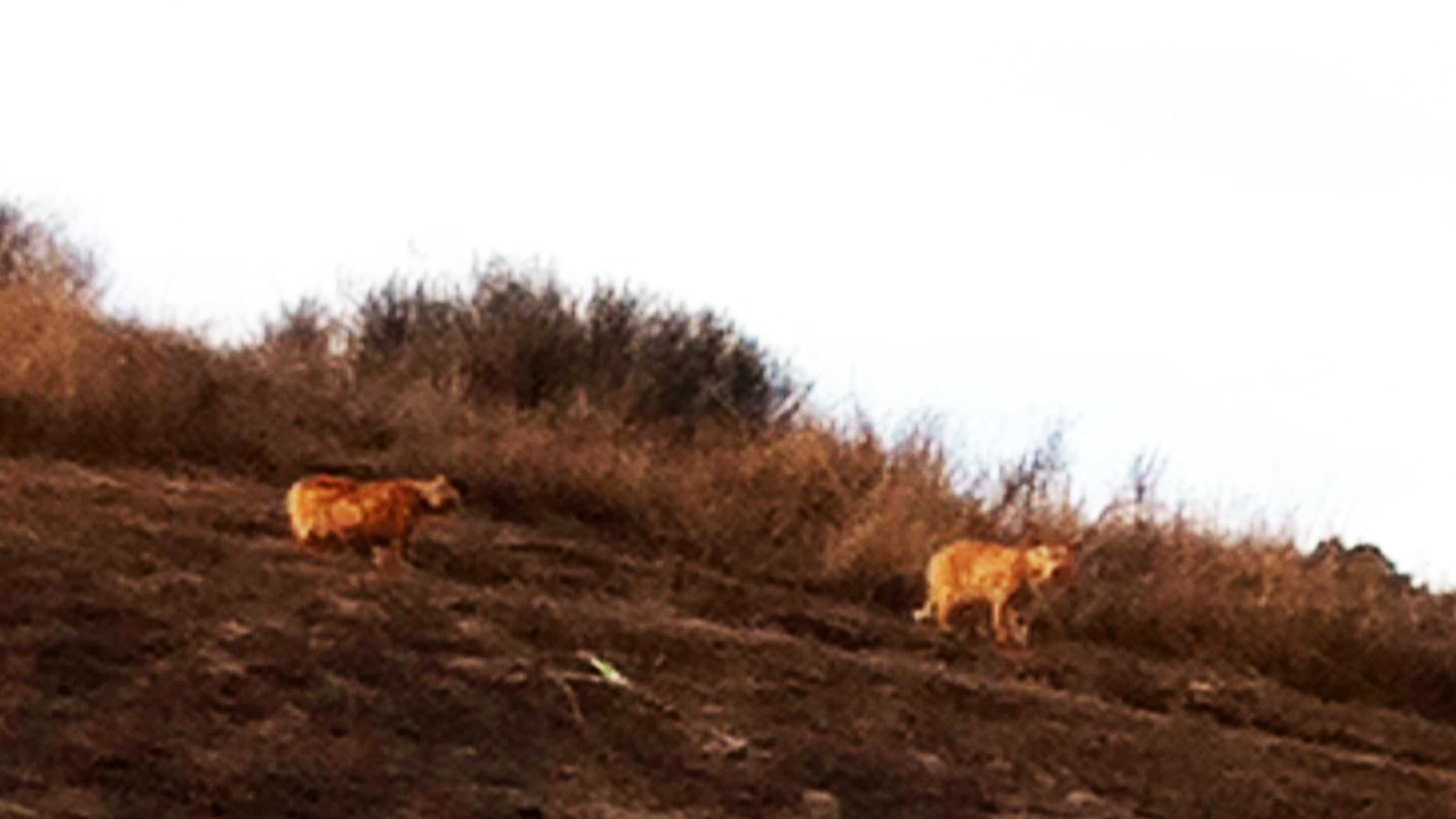 Student Taylor Sollecito took this photograph at 3:30 p.m. Tuesday of two large mountain lions.