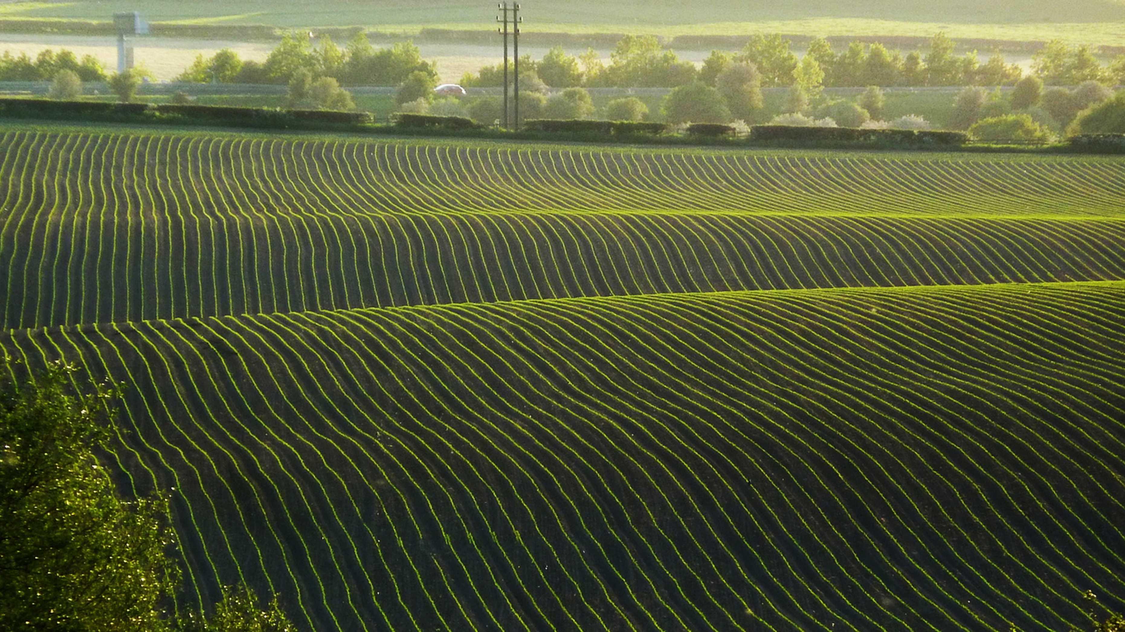 crop rows.jpg