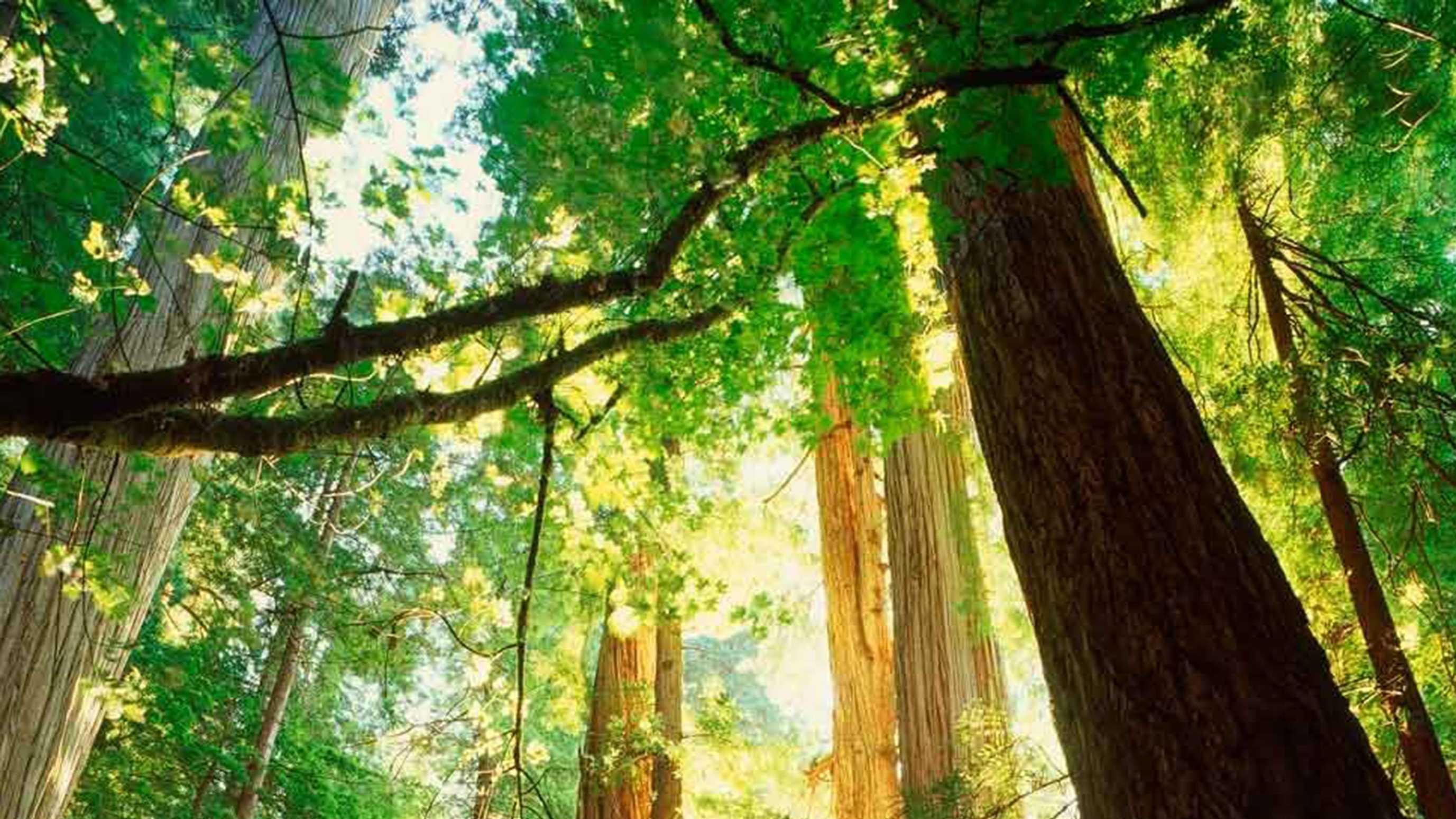 redwood treees.jpg