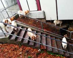 Santa Cruz High School used a herd of goats to increase safety.