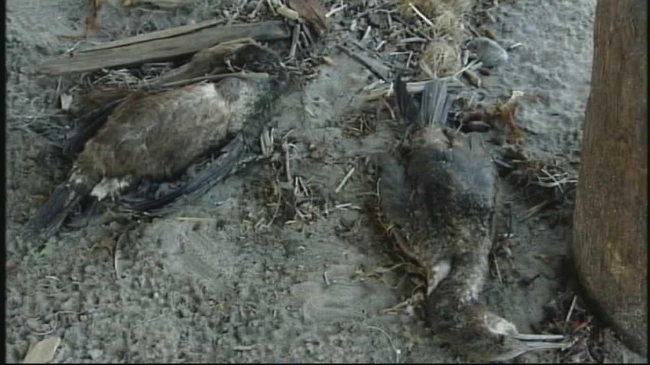 Toxic algae blooms killing sea birds, threaten humans