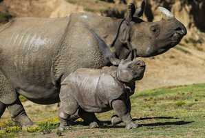 A nine-week-old greater one-horned rhino calf and his mother charged into the Asian Plains exhibit at the San Diego Zoo Safari Park on May 1, 2014.The male calf, named Parvesh, seemed eager to explore his new habitat for the first time and could be seen running - and stumbling - to keep up with his mother. Parvesh was born on Feb. 25.