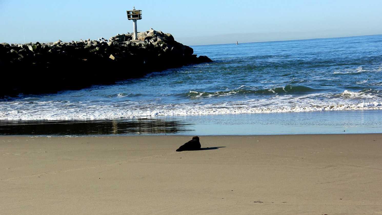 A sea otter makes it way toward the ocean in Moss Landing.