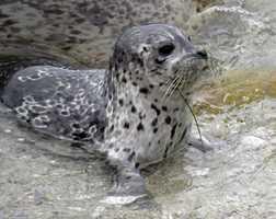 Harbor seal pup