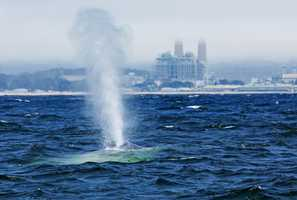 This beautiful blue whale spouted near Moss Landing on June 25. Whale watching boat captains said it was one of the first blue whales seen in the Monterey Bay this year. Blue whales are the largest animals in the world, stretching 100 feet long.