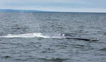 Humpback, orca, and gray whales have been swimming into the Monterey Bay this spring while migrating along the West Coast. It was not until the first week of summer that the largest animal in the world swam into the bay as well.