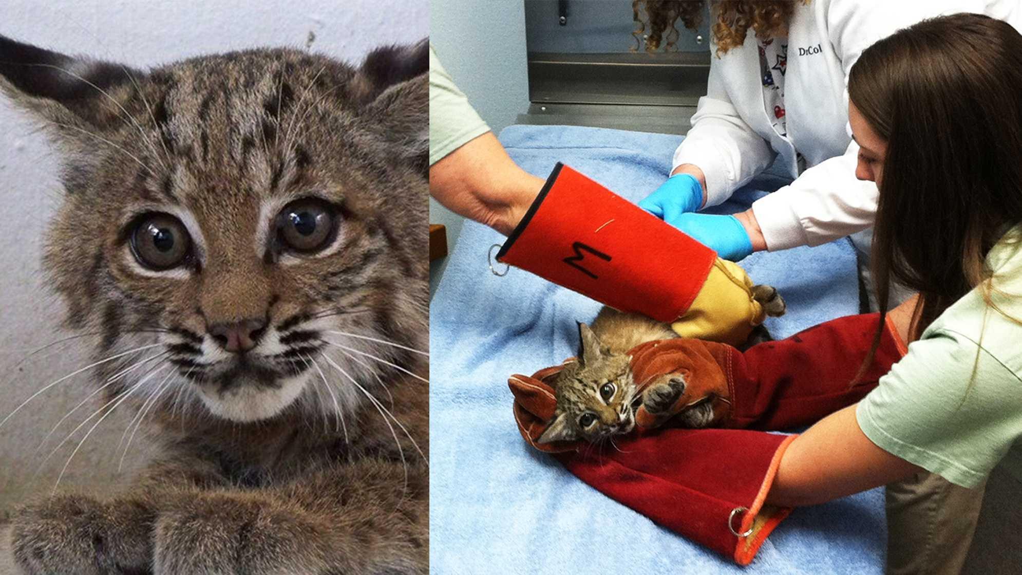 Fairfield the baby bobcat