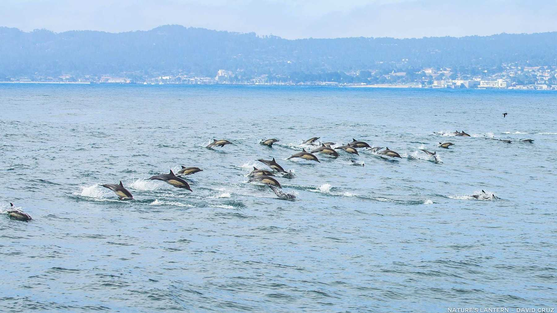 Dolphins swim past Monterey and Pacific Grove.  Photo by David Cruz / Nature's Lantern