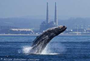 Alisa Schulman-Janiger / Monterey Bay Whale Watch (Oct. 14, 2014)