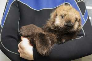 Have you ever wondered how a sea otter pup likes to be held? This is how.
