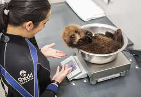 The pup is now 10 weeks old and learning how to be an otter at Shedd Aquarium in Chicago.