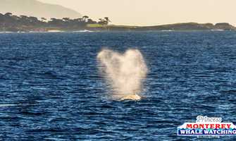 Gray whales love the Monterey Bay this time of year. This whale's spout formed into a heart as it swam by Pebble Beach.