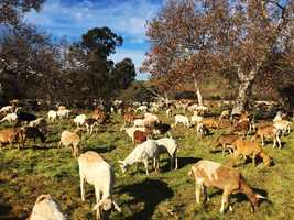 The goats are being used as lawnmowers to keep wildfire-prone brush under control.