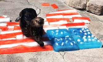 A sea otter at the Monterey Bay Aquarium enjoyed July 4 with a U.S. ice flag.
