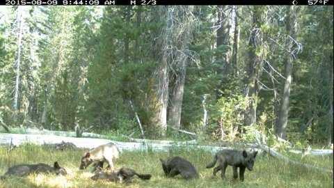 shasta pack, wolf puppies