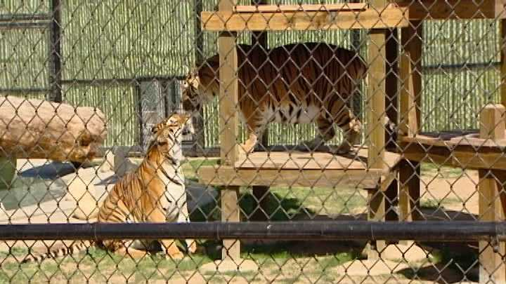 New tiger exhibit helps effort to bring formal zoo to Monterey County