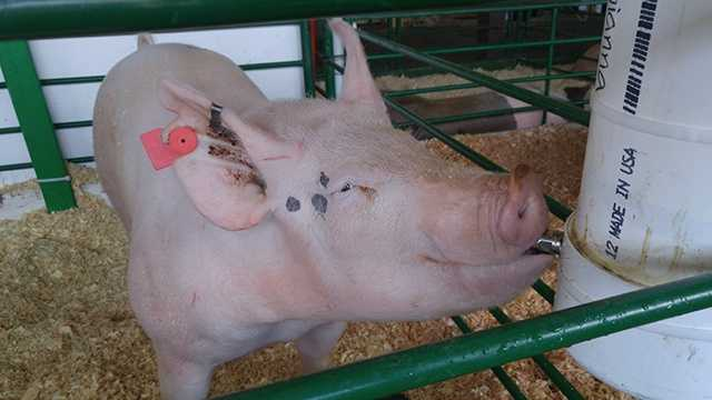 Monterey County Fair kicks off the week with swine show