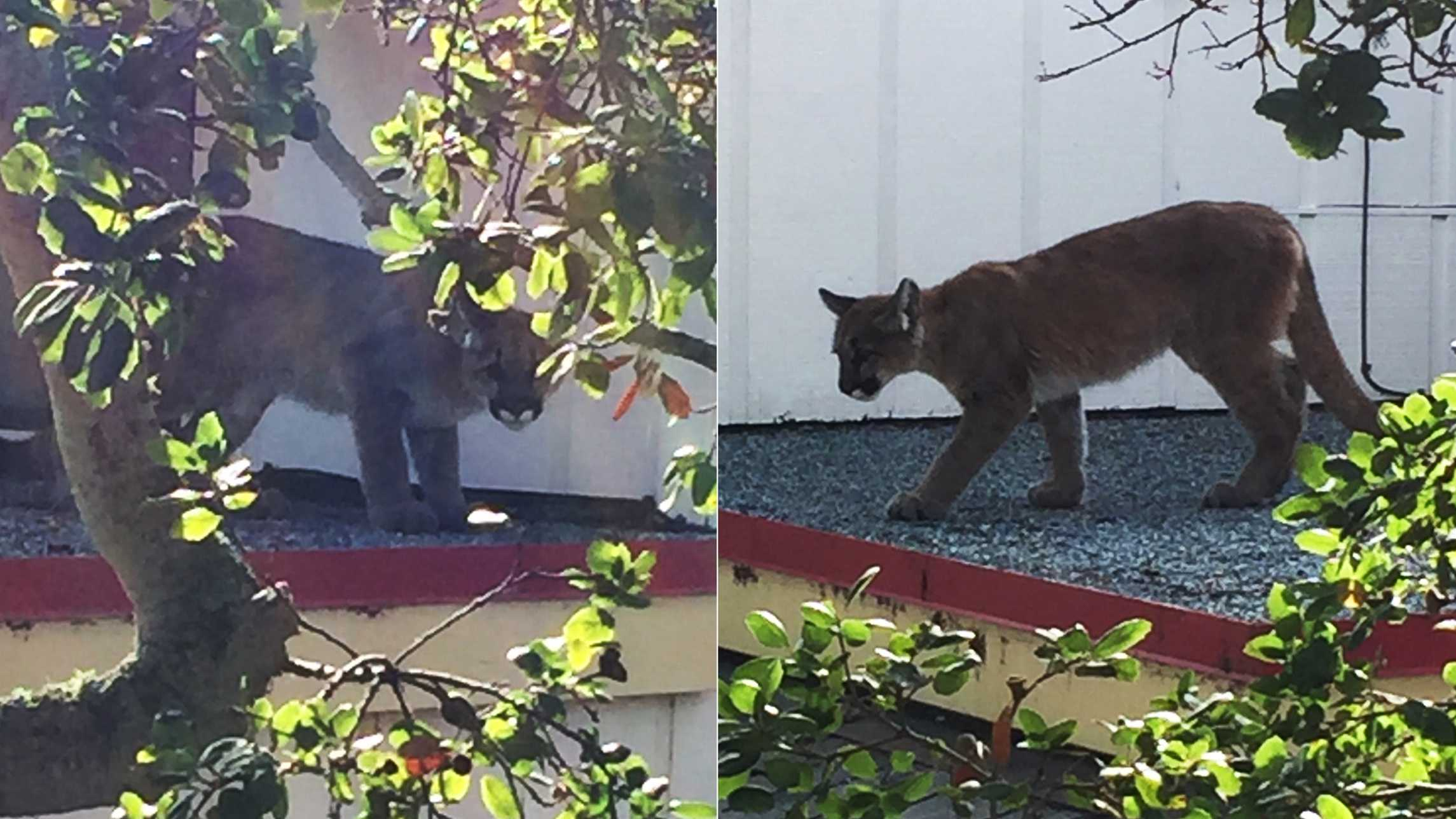 mountain lion in Pacific Grove