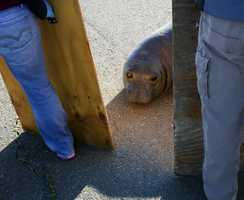 A wayward elephant seal that blocked traffic on a North Bay highway Monday appeared to have no desire to return to the ocean as the animal continued her game of cat and mouse with rescue workers on Tuesday.