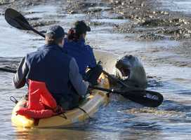 A marine mammal rescue team is seen here attempting to gently coax the seal out to sea.