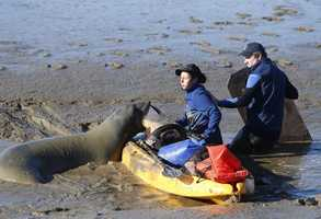"""Up until the moment the seal was tranquilized, officials were unsure if their plan would work. """"She's a 900-pound elephant seal and we're not. She pretty much does what she wants,"""" said Barbie Halaska, a research assistant at The Marine Mammal Center."""