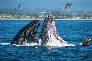 This photograph shot by Paul Schraub near Seabright State Beach on Oct. 25, 2011 shows humpback whales breaching by kayaker Alan Brady.