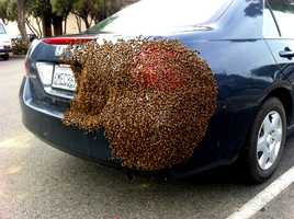 A big buzz broke out in downtown Salinas Wednesday when hundreds of bees swarmed a woman's car while she went inside a bank.
