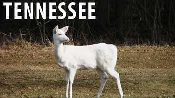 Tennessee:It is against the law to hunt, trap, or harm an albino deer intentionally in the state of Tennessee. If you are caught doing this, you will be charged with a Class C misdemeanor which is punishable only by fine. (Source: Business Insider)