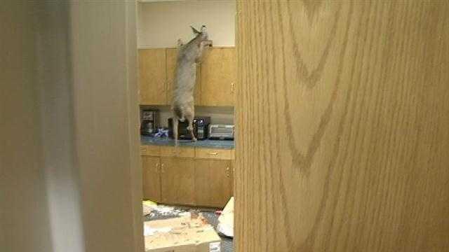 Deer stuck in Jackson office