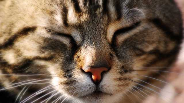 Cat face, tabby