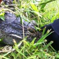 An alligator was captured in August in a Byram subdivision. Click here for more images and the story.