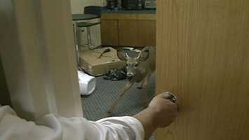 """""""The last thing you expect to do is come to work and find a large deer standing behind your desk,"""" a woman told 16 WAPT News in October. Click here for the complete story, pictures and video."""